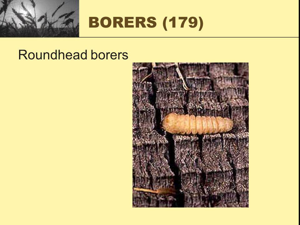 BORERS (179) Roundhead borers