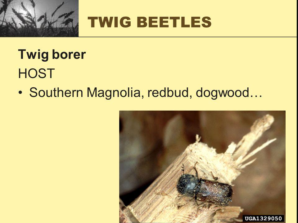 TWIG BEETLES Twig borer HOST Southern Magnolia, redbud, dogwood…