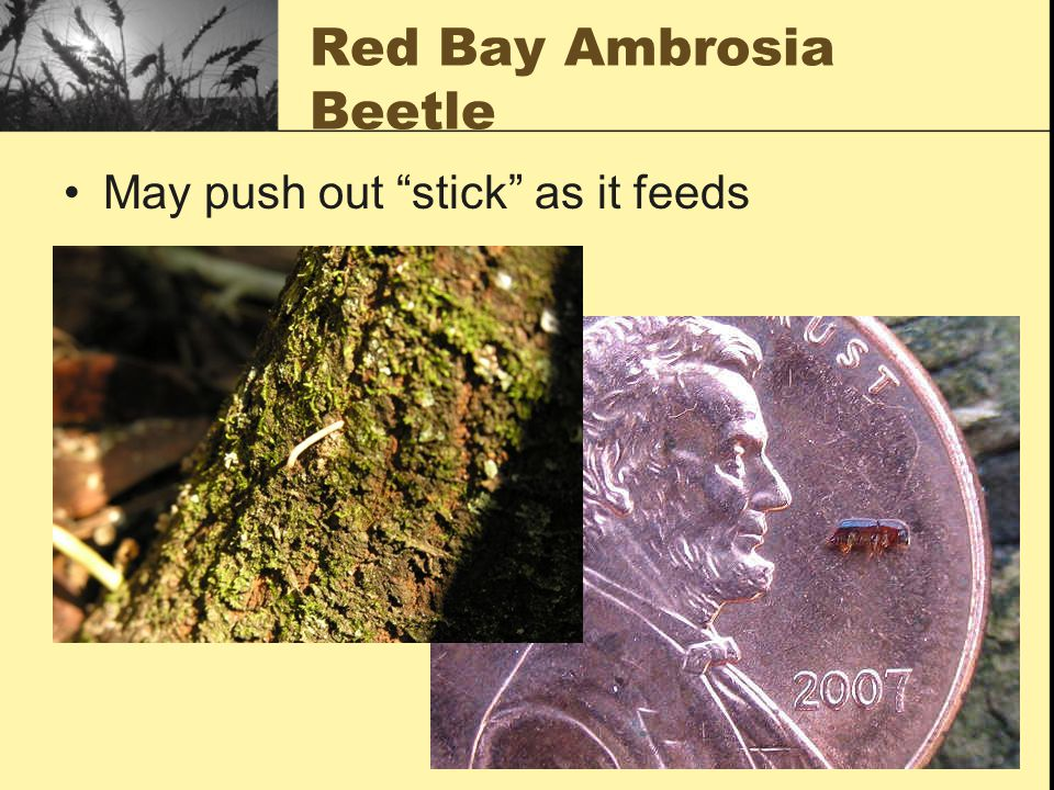 Red Bay Ambrosia Beetle May push out stick as it feeds