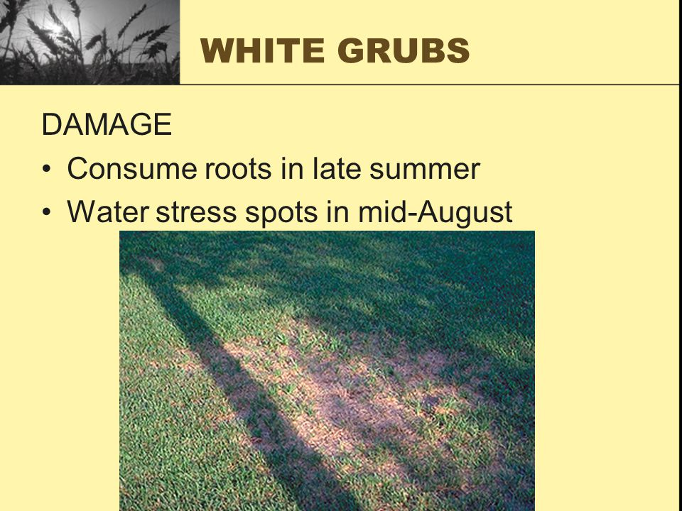 WHITE GRUBS DAMAGE Consume roots in late summer Water stress spots in mid-August