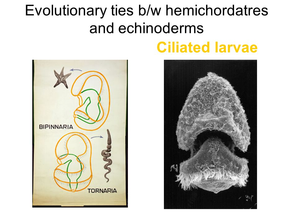 Evolutionary ties b/w hemichordatres and echinoderms Ciliated larvae