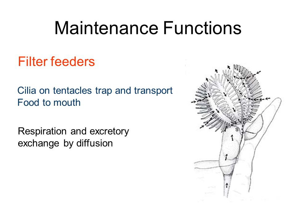 Maintenance Functions Filter feeders Cilia on tentacles trap and transport Food to mouth Respiration and excretory exchange by diffusion