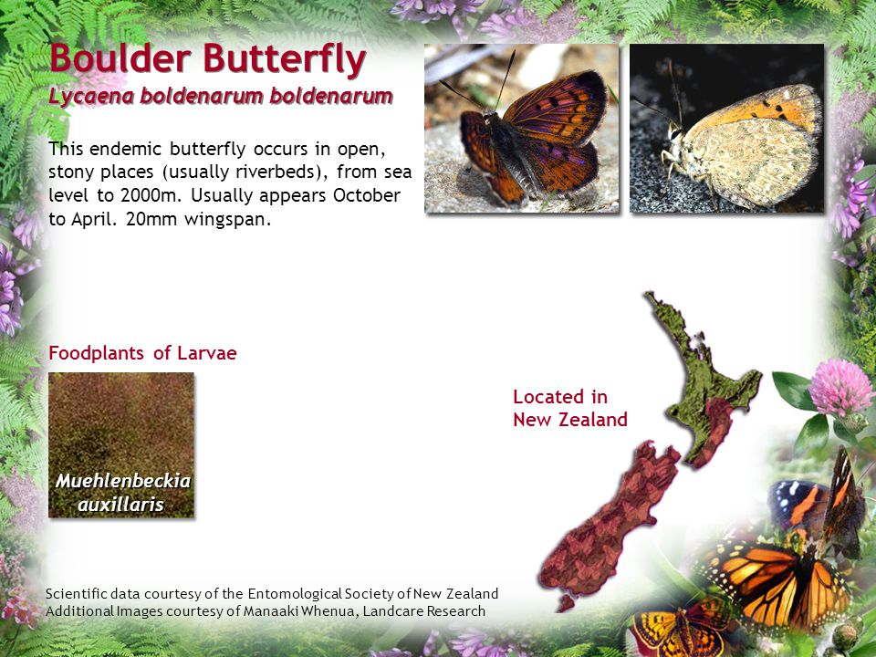 Scientific data courtesy of the Entomological Society of New Zealand Additional Images courtesy of Manaaki Whenua, Landcare Research Boulder Butterfly
