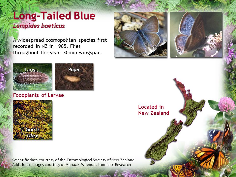 Scientific data courtesy of the Entomological Society of New Zealand Additional Images courtesy of Manaaki Whenua, Landcare Research Long-Tailed Blue