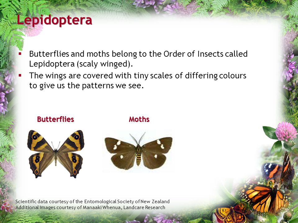 Scientific data courtesy of the Entomological Society of New Zealand Additional Images courtesy of Manaaki Whenua, Landcare Research Lepidoptera  But