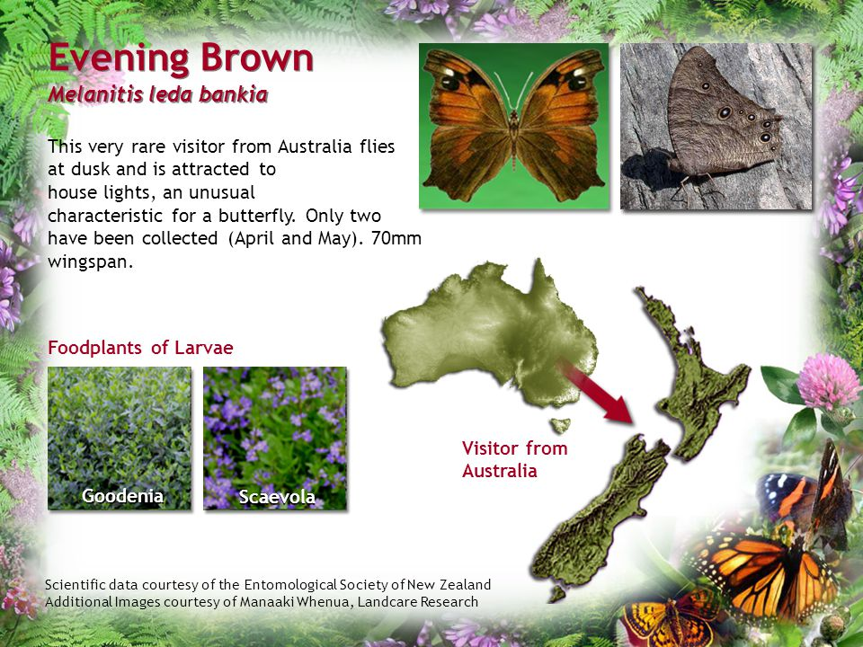 Scientific data courtesy of the Entomological Society of New Zealand Additional Images courtesy of Manaaki Whenua, Landcare Research Evening Brown Mel