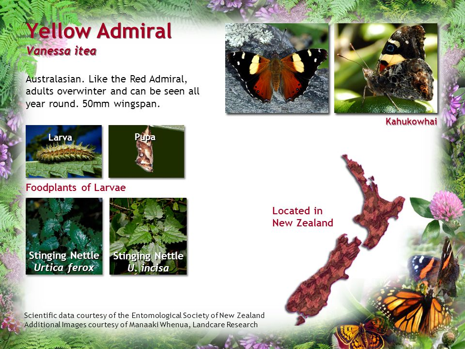 Scientific data courtesy of the Entomological Society of New Zealand Additional Images courtesy of Manaaki Whenua, Landcare Research Yellow Admiral Va