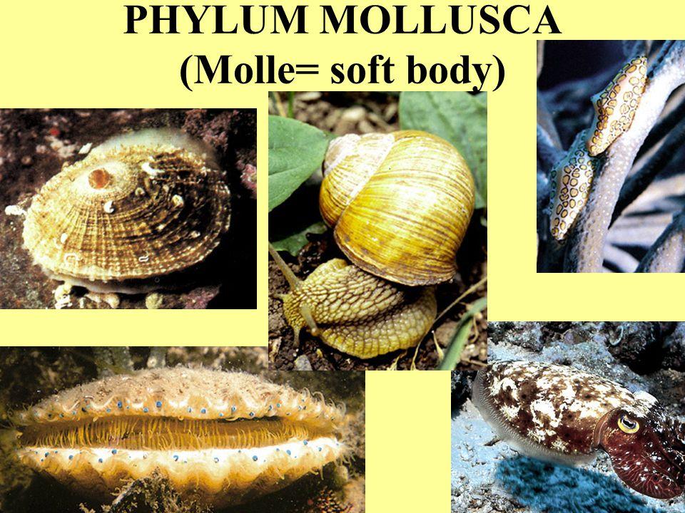 PHYLUM MOLLUSCA (Molle= soft body)