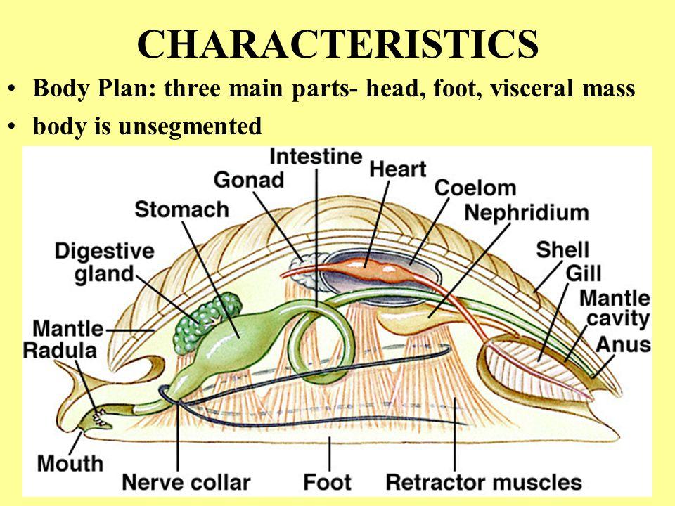 CHARACTERISTICS Body Plan: three main parts- head, foot, visceral mass body is unsegmented