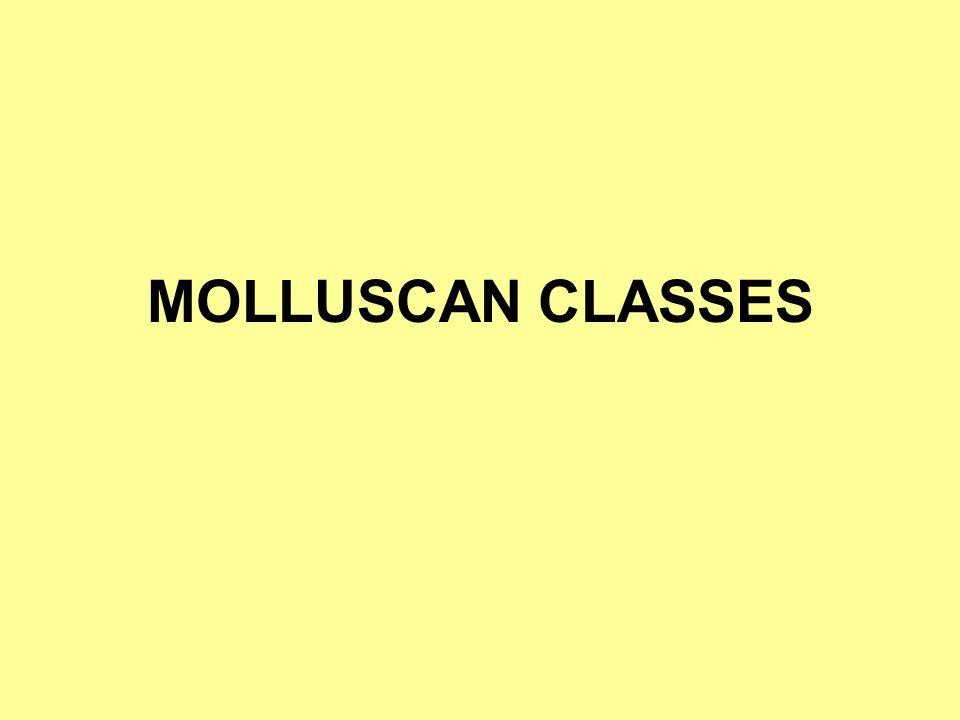 MOLLUSCAN CLASSES