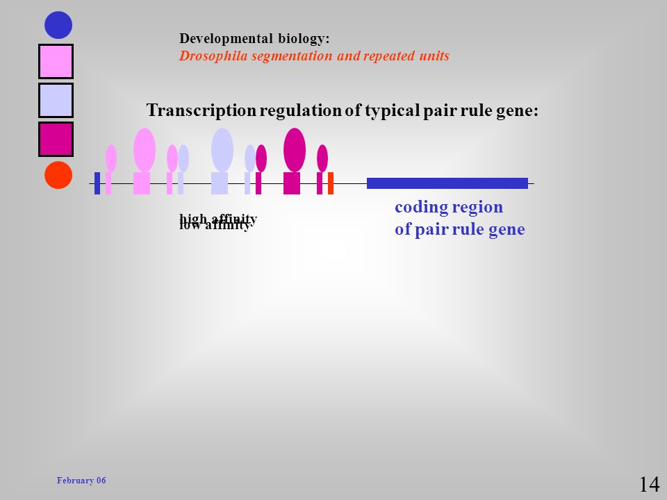 February 06 Developmental biology: Drosophila segmentation and repeated units 14 coding region of pair rule gene Transcription regulation of typical p