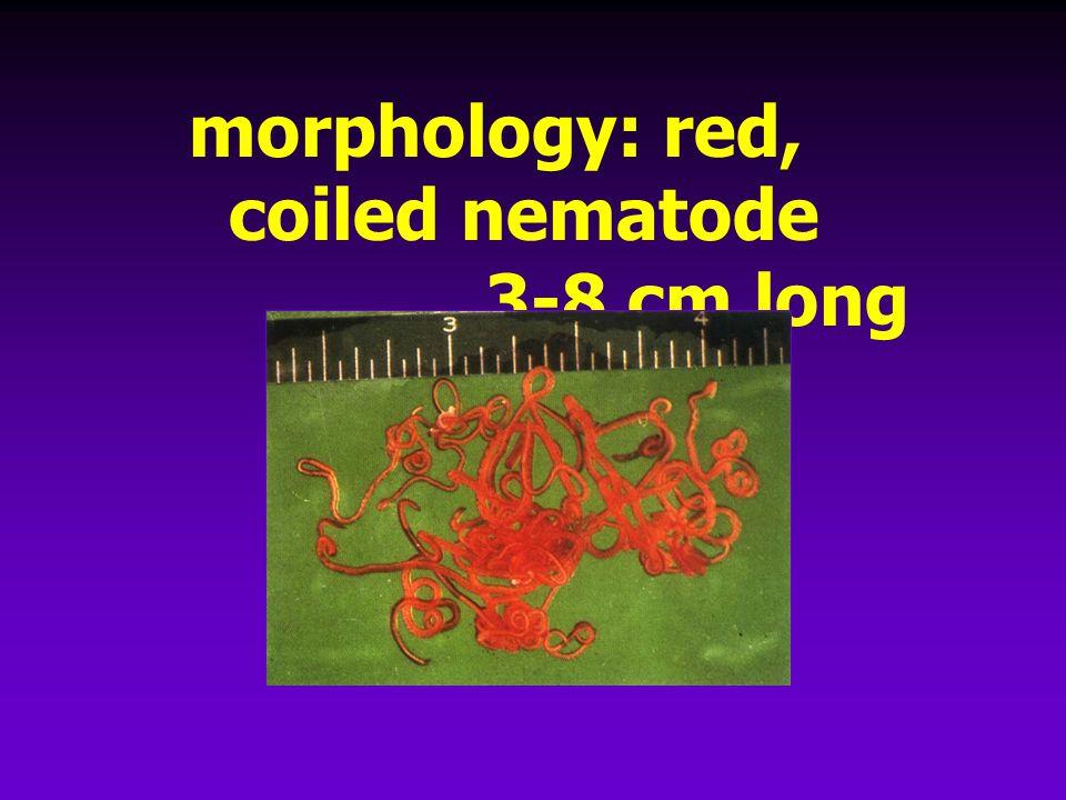 morphology: red, coiled nematode 3-8 cm long