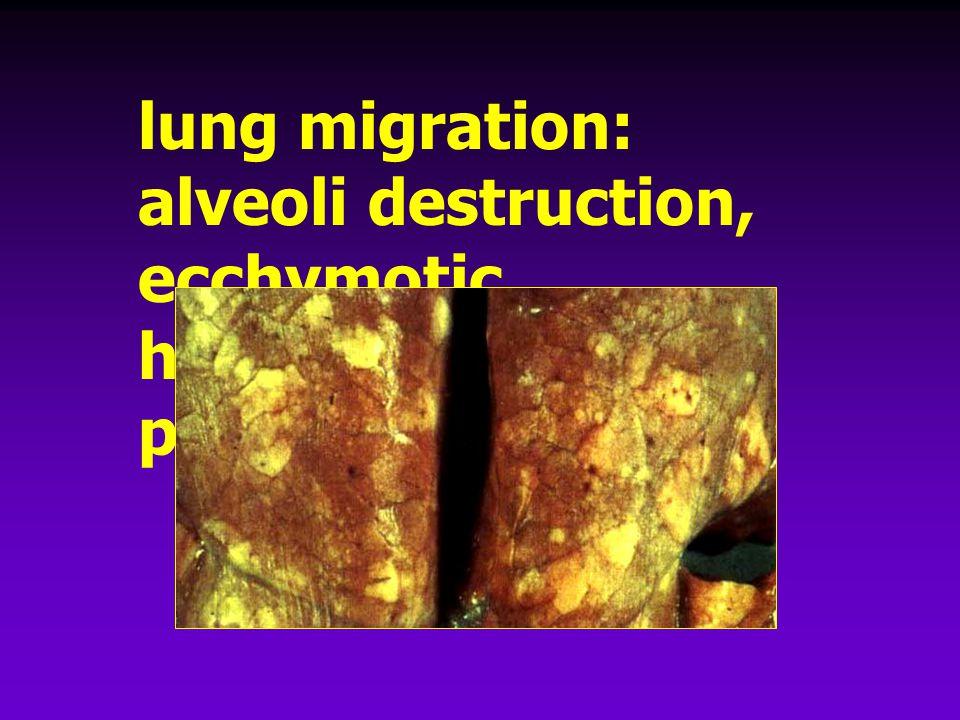 lung migration: alveoli destruction, ecchymotic hemorrhage, pneumonia