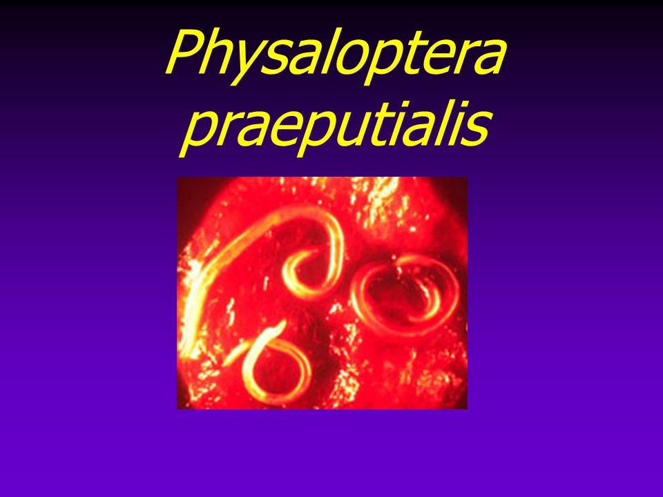 Physaloptera praeputialis