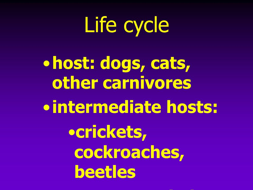 Life cycle host: dogs, cats, other carnivores intermediate hosts: crickets, cockroaches, beetles prepatent period = 41-83 days