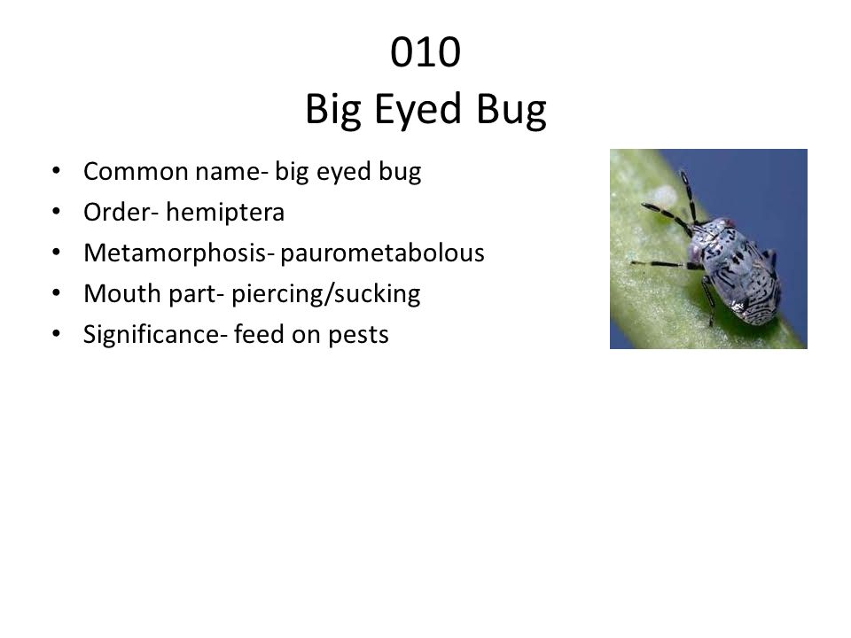 010 Big Eyed Bug Common name- big eyed bug Order- hemiptera Metamorphosis- paurometabolous Mouth part- piercing/sucking Significance- feed on pests