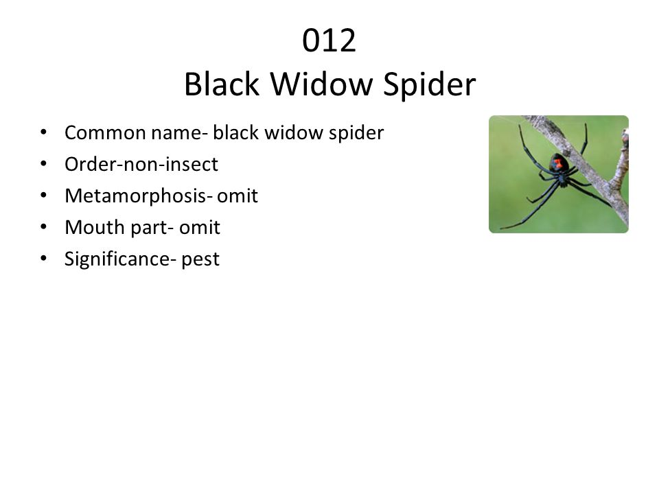 012 Black Widow Spider Common name- black widow spider Order-non-insect Metamorphosis- omit Mouth part- omit Significance- pest