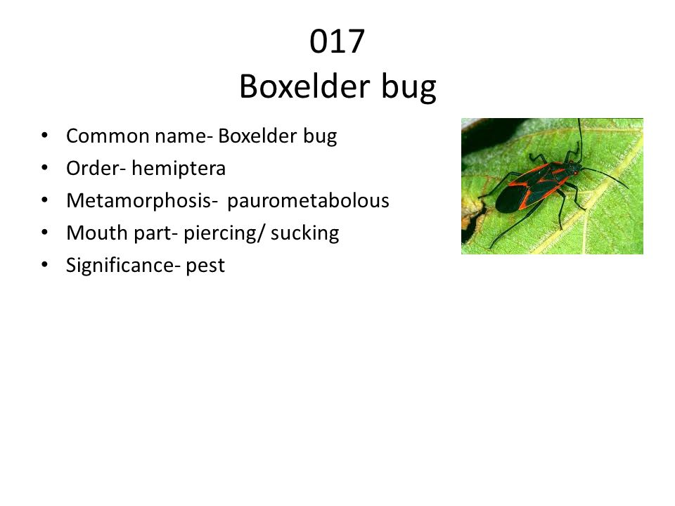 017 Boxelder bug Common name- Boxelder bug Order- hemiptera Metamorphosis- paurometabolous Mouth part- piercing/ sucking Significance- pest