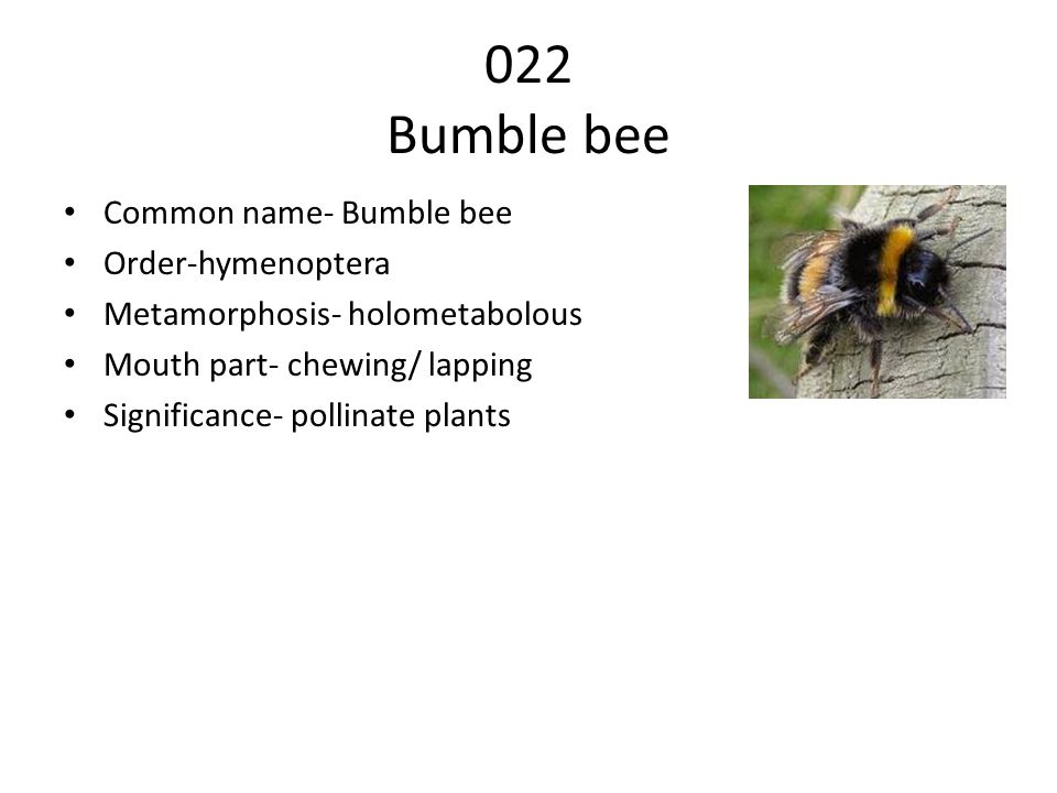 022 Bumble bee Common name- Bumble bee Order-hymenoptera Metamorphosis- holometabolous Mouth part- chewing/ lapping Significance- pollinate plants