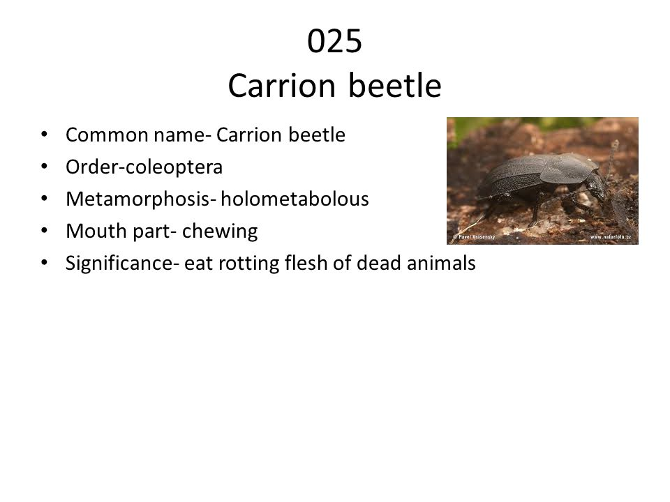 025 Carrion beetle Common name- Carrion beetle Order-coleoptera Metamorphosis- holometabolous Mouth part- chewing Significance- eat rotting flesh of dead animals
