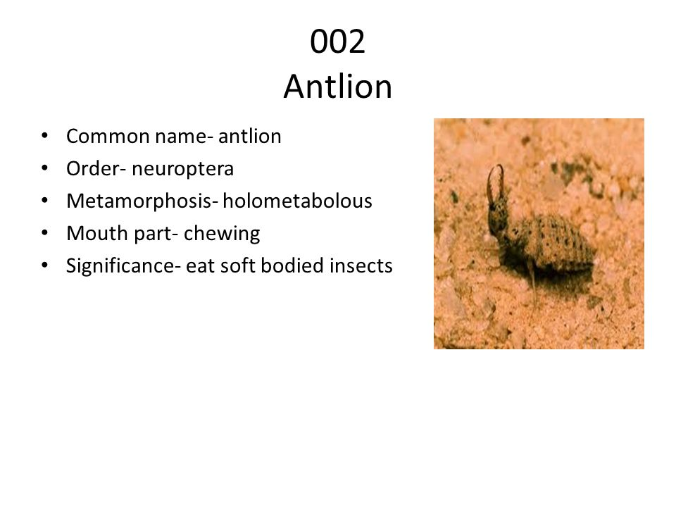 002 Antlion Common name- antlion Order- neuroptera Metamorphosis- holometabolous Mouth part- chewing Significance- eat soft bodied insects