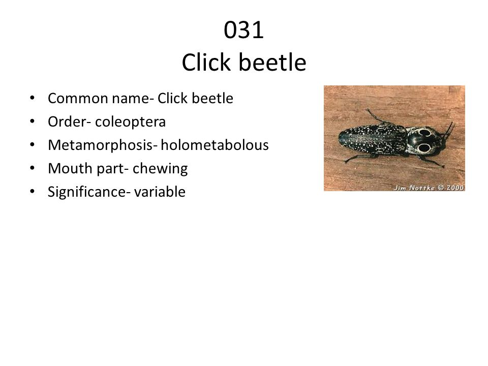 031 Click beetle Common name- Click beetle Order- coleoptera Metamorphosis- holometabolous Mouth part- chewing Significance- variable