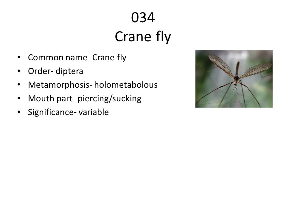 034 Crane fly Common name- Crane fly Order- diptera Metamorphosis- holometabolous Mouth part- piercing/sucking Significance- variable