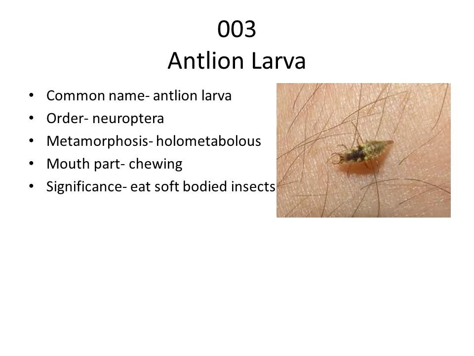 003 Antlion Larva Common name- antlion larva Order- neuroptera Metamorphosis- holometabolous Mouth part- chewing Significance- eat soft bodied insects