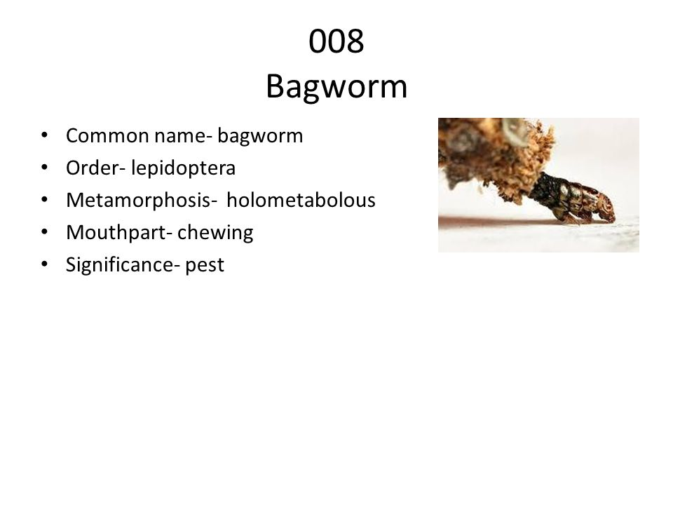 008 Bagworm Common name- bagworm Order- lepidoptera Metamorphosis- holometabolous Mouthpart- chewing Significance- pest