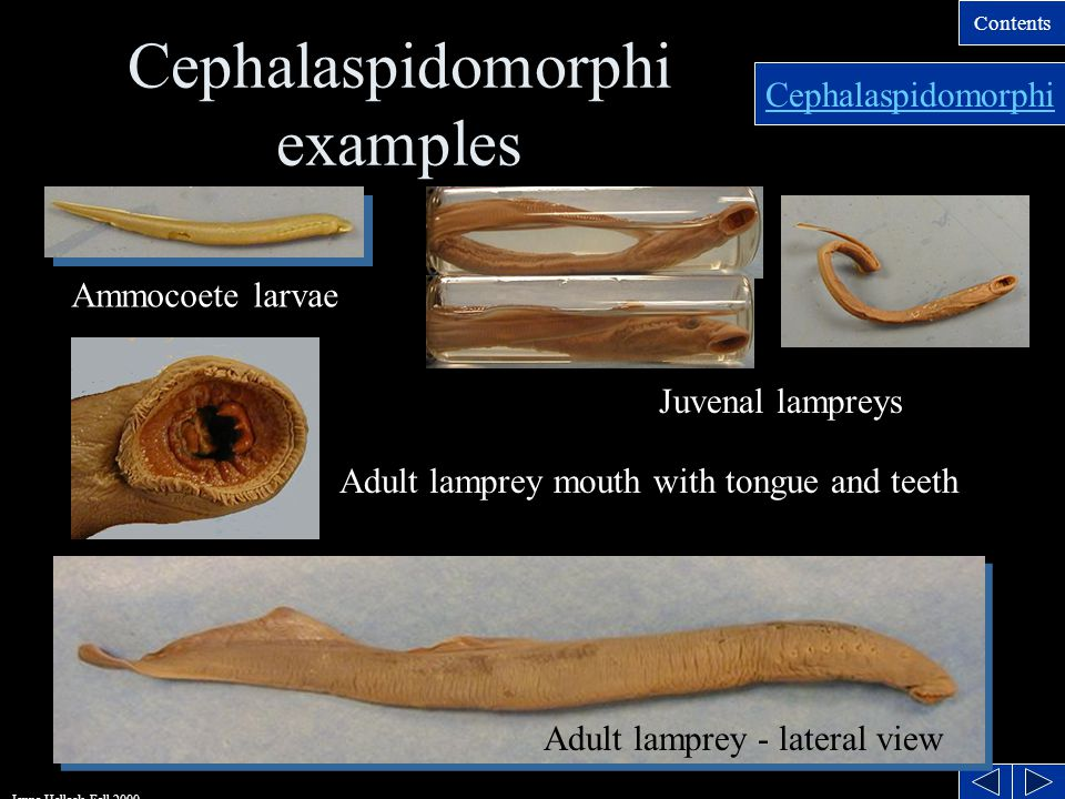 Contents Jenna Hellack Fall 2000 Lamprey Systems IntegumentaryIntegumentary- No scales, stratified skin SkeletalSkeletal- Cartilaginous, notochord persistent, no paired appendages.