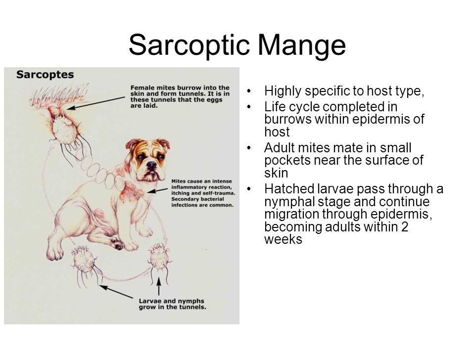 "Presentation ""Sarcoptic Mange Sarcoptes scabiei mite ~1/64 of an ..."