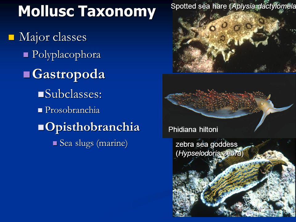 Mollusc Taxonomy Major classes Major classes Polyplacophora Polyplacophora Gastropoda Gastropoda Subclasses: Subclasses: Prosobranchia Prosobranchia Opisthobranchia Opisthobranchia Sea slugs (marine) Sea slugs (marine) zebra sea goddess (Hypselodoris zebra) Spotted sea hare (Aplysia dactylomela) Phidiana hiltoni