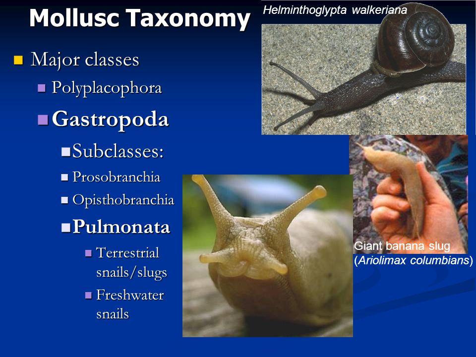 Mollusc Taxonomy Major classes Major classes Polyplacophora Polyplacophora Gastropoda Gastropoda Subclasses: Subclasses: Prosobranchia Prosobranchia Opisthobranchia Opisthobranchia Pulmonata Pulmonata Terrestrial snails/slugs Terrestrial snails/slugs Freshwater snails Freshwater snails Helminthoglypta walkeriana Giant banana slug (Ariolimax columbians)