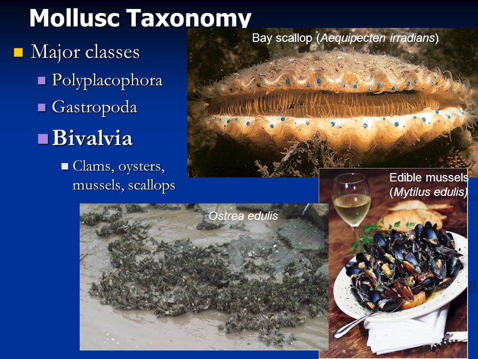 Mollusc Taxonomy Major classes Major classes Polyplacophora Polyplacophora Gastropoda Gastropoda Bivalvia Bivalvia Clams, oysters, mussels, scallops Clams, oysters, mussels, scallops Bay scallop (Aequipecten irradians) Edible mussels (Mytilus edulis) Ostrea edulis