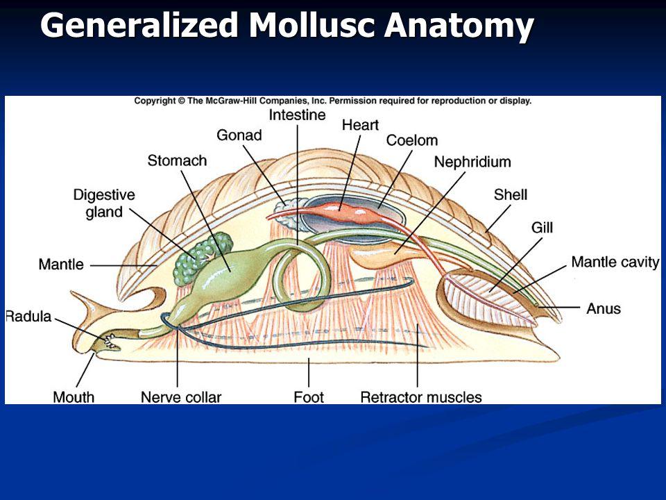 Generalized Mollusc Anatomy
