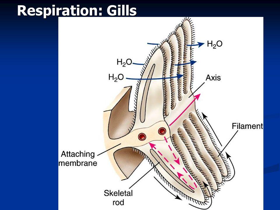 Respiration: Gills