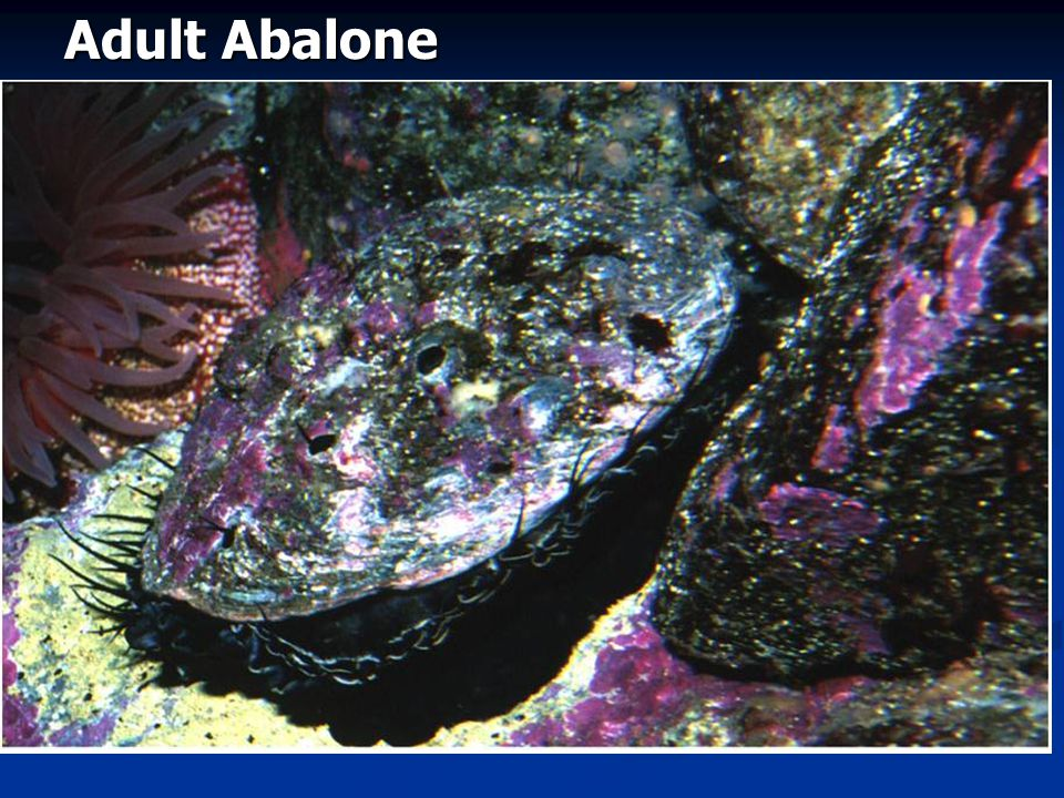 Adult Abalone