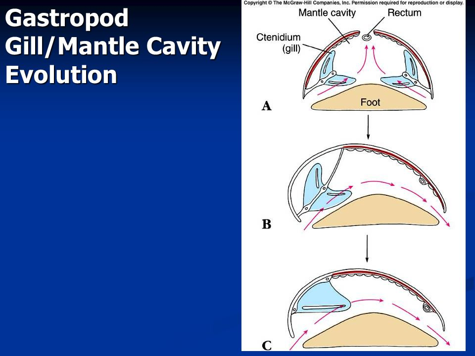 Gastropod Gill/Mantle Cavity Evolution
