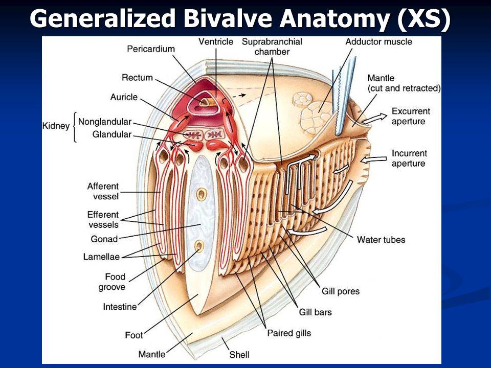 Generalized Bivalve Anatomy (XS)