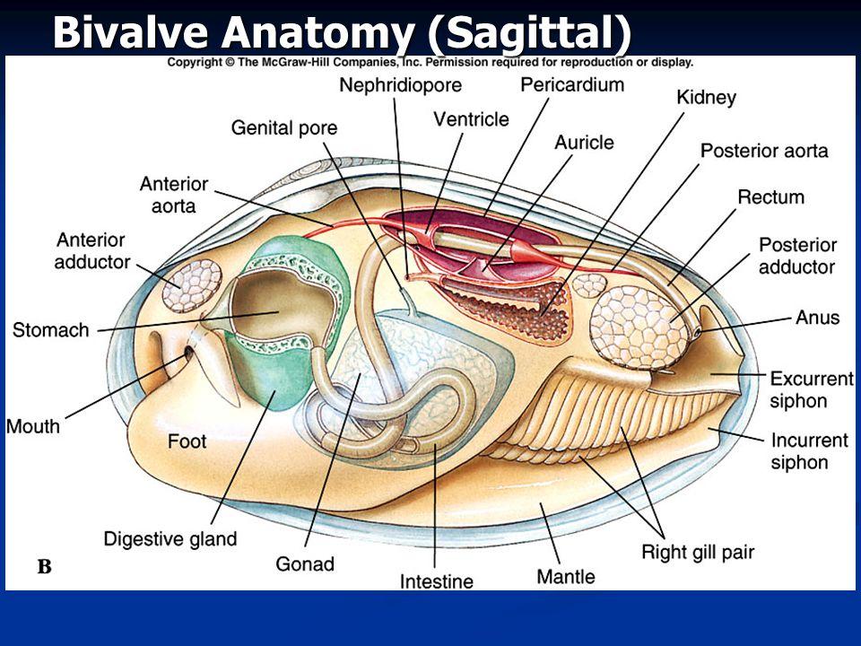 Bivalve Anatomy (Sagittal)