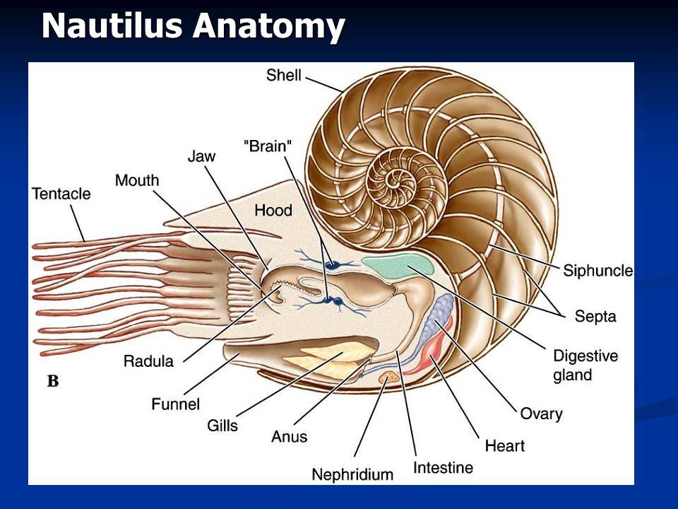 Nautilus Anatomy