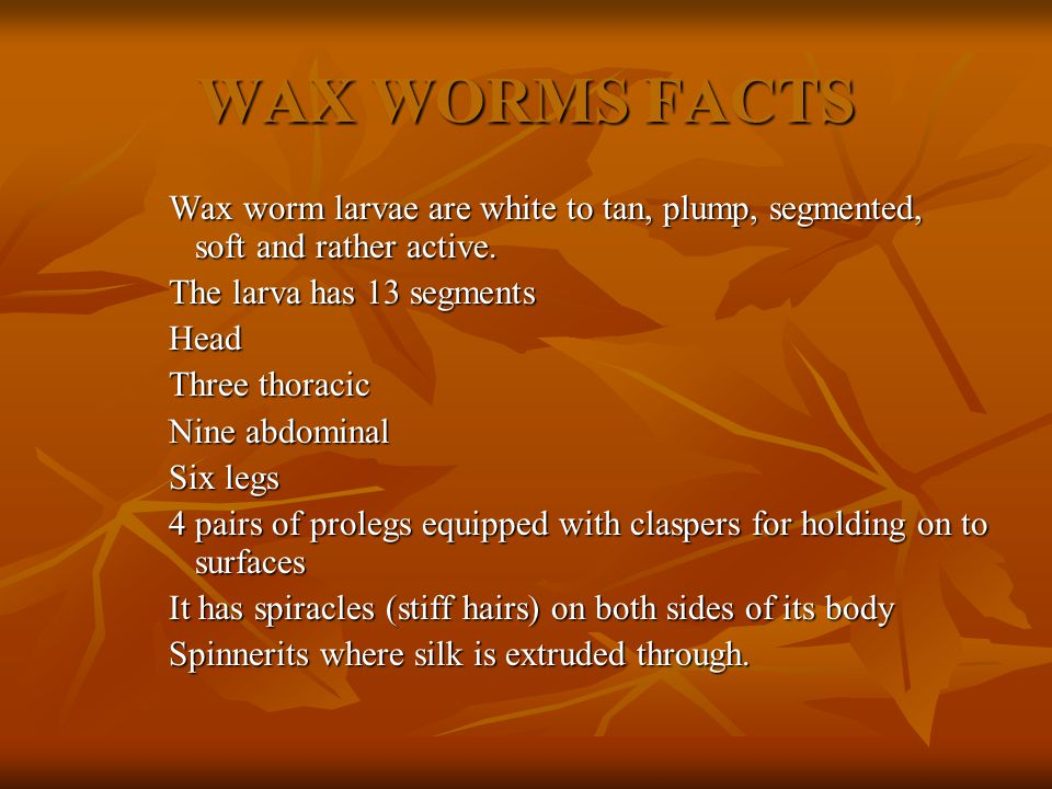 The wax worm is the larva of the greater wax moth.