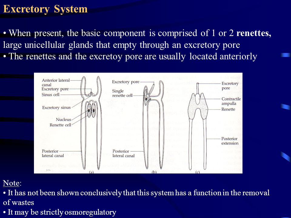 Excretory System When present, the basic component is comprised of 1 or 2 renettes, large unicellular glands that empty through an excretory pore The