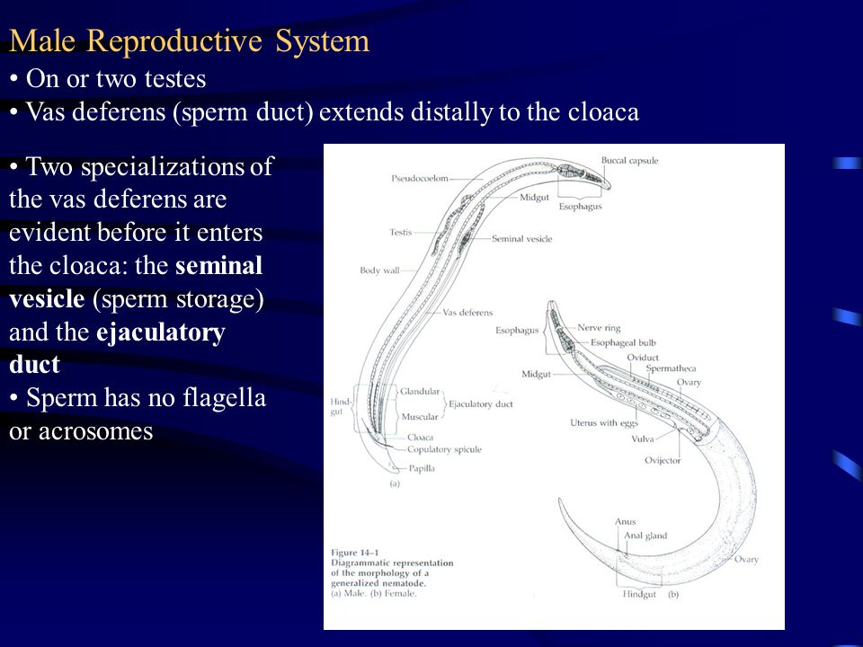 Male Reproductive System On or two testes Vas deferens (sperm duct) extends distally to the cloaca Two specializations of the vas deferens are evident