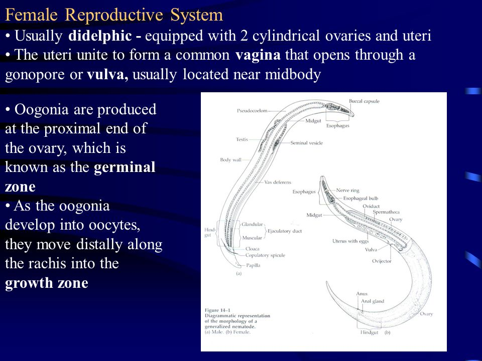 Female Reproductive System Usually didelphic - equipped with 2 cylindrical ovaries and uteri The uteri unite to form a common vagina that opens throug