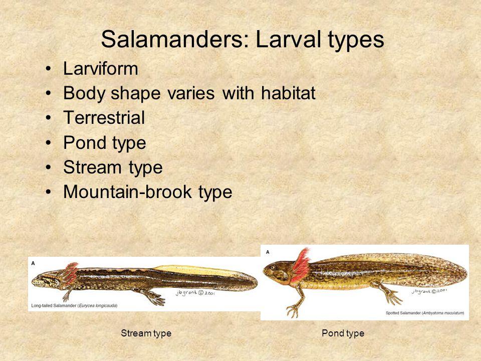 Salamanders: Larval types Larviform Body shape varies with habitat Terrestrial Pond type Stream type Mountain-brook type Pond typeStream type