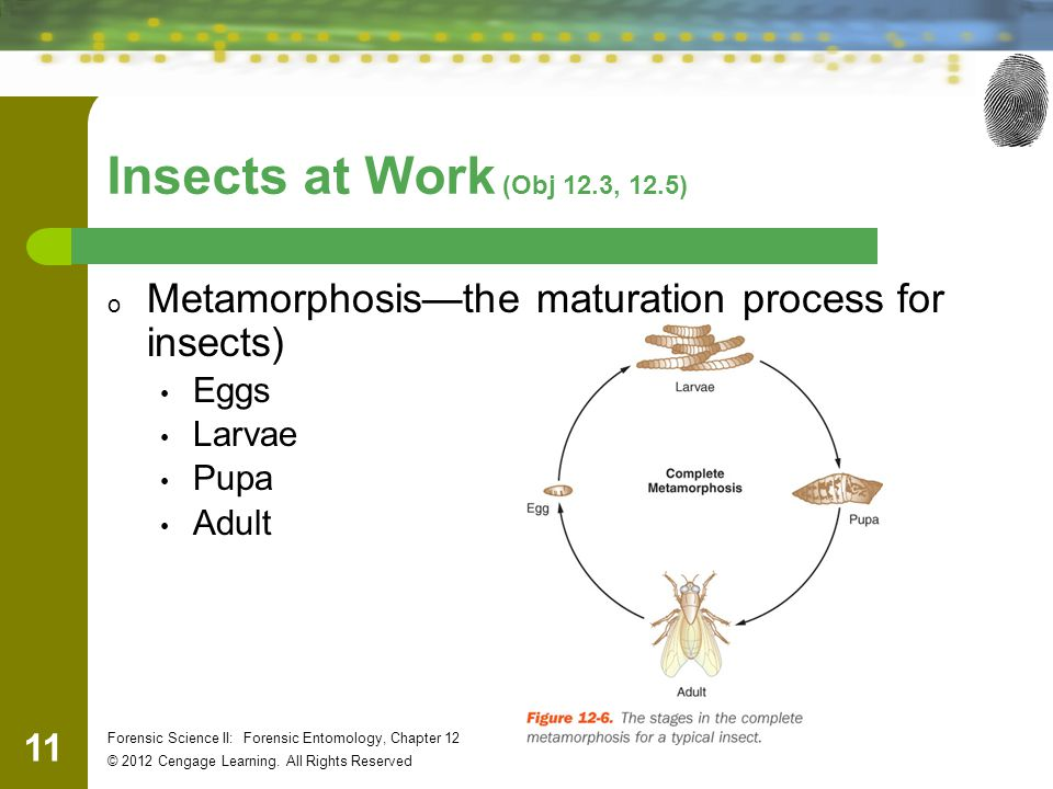 11 Forensic Science II: Forensic Entomology, Chapter 12 © 2012 Cengage Learning. All Rights Reserved Insects at Work (Obj 12.3, 12.5) o Metamorphosis—