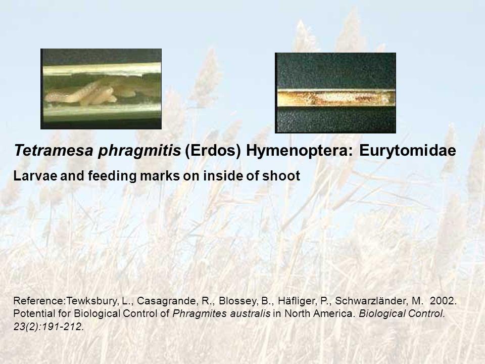 Tetramesa phragmitis (Erdos) Hymenoptera: Eurytomidae Larvae and feeding marks on inside of shoot Reference:Tewksbury, L., Casagrande, R., Blossey, B.