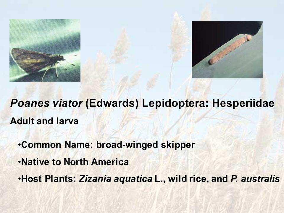 Poanes viator (Edwards) Lepidoptera: Hesperiidae Adult and larva Common Name: broad-winged skipper Native to North America Host Plants: Zizania aquati