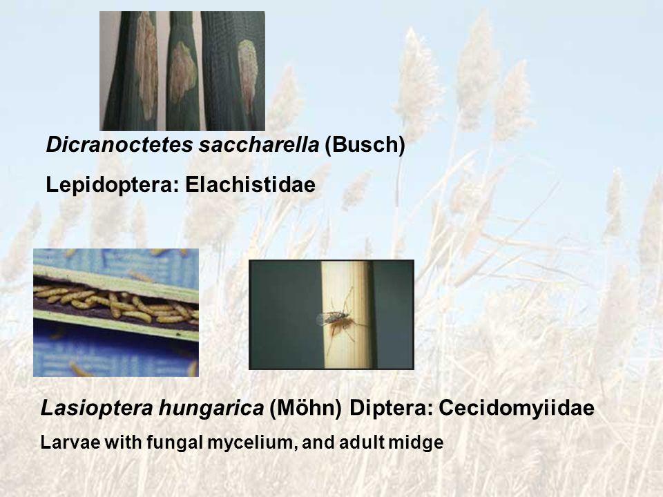 Dicranoctetes saccharella (Busch) Lepidoptera: Elachistidae Lasioptera hungarica (Möhn) Diptera: Cecidomyiidae Larvae with fungal mycelium, and adult